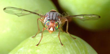 mosca olearia